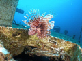 lion fish in port nelson wreck in Bahamas, olympus sp-350,inon len,inon strobe