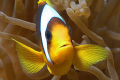 A curious clownfish defending his territory...