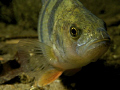 A freshwater Perch takes a look into the lens on a night dive. This lake is off the A58 Tilburg.