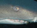 I Got My Eye On You ...This is once again off the coast of  Beaufort North Carolina With Discover Diving.  He liked his belly rubbed.  Once again a great day in the Grave yard. I was takeing a pic of another Sand Tiger when he swam into the shot.
