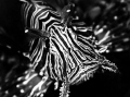 Black and White Lionfish from mombasa