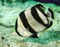Banded Butterfly fish taken in Bimini, Bahamas.