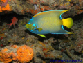 Queen Angel Fish @ Andrea's