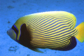 "Portrait of "" Pomacanthus imperator"" Emperor Angelfish."
