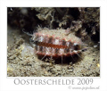 The Aequipecten opercularis shows his eyes only when you come with less light, and not to close. When there is any danger he will close himself (herself) and you see only the outside. These picture is made in the Oosterschelde, with less visibility.