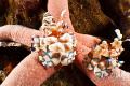 Harlequin Shrimps