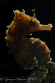 Back lit seahorse at BHB D300 105mm  Off camera strobe triggered on slave