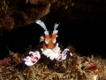 Harlequin Shrimp.