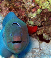 Giant moray and bluestreak cleaner wrasse