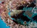 Mottled Grouper