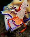 """Emperor shrimp on Nudibranch"""