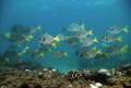Surgeon Fish (Prionurus Punctatus) schooling in the reefs of Cabo Pulmo, Baja California Sur, México