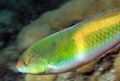 Yellowhead Wrasse on the Big Coral Knoll off the beach in Fort Lauderdale.