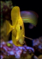 Something pass for my mind this morning and i go for it. Why if a have my own reef in my room lets get some crazy underwater shots and here's one of two i will share. My big strong Yellow Tang or Yellow Surgeon Tang from the hawaiian islands.