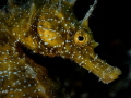 The markings on the face of the Seahorse (Hippocampus hippocampus) are unique to the individual and can be used to identify single characters around a dive site.