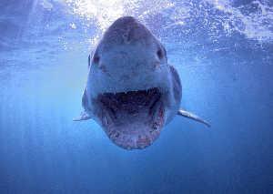 white shark incoming Gans Bay South Africa