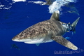 Oceanic whitecap sharkThe season Cat island has started its very promising