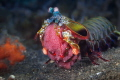 Peacock Mantis Shrimp Eggs