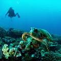 Turtle diver Seychelles