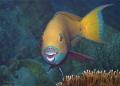 This pretty coloured Parrotfish wants show me his beauty turning around be better position front photographer DiveSpot Gordon ReefNorthSafariin March 2013Olympus E620 BS KineticsHousingZuiko 50 mmMakro Dive-Spot: DiveSpot: Dive Spot: Reef/North-Safari/in ReefNorth-Safariin Reef North-Safari Reef/NorthSafari/in Reef/North Safari/in E-620 620 Kinetics-Housing/Zuiko Kinetics-HousingZuiko Kinetics-Housing Zuiko KineticsHousing/Zuiko Kinetics Housing/Zuiko mm-Makro Makro