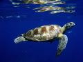 turtle Similan islands