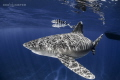 Oceanic Whitetip Shark pilotfish mid ocean seamount. Sunrays dancing her body. seamount body