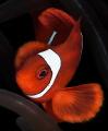 SpineCheek Anemone Fish Male Portrait