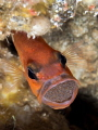 Male cardinal fish Apogon imberbis rotating egg mass.Lanzarote Canary Islands. mass. mass Islands