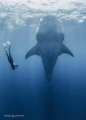 Whale Shark BotellitaThey get vertical dense areas plankton gulp large amounts food. one most incredible sights thatIve ever seen Giant fish just hanging suspended water column very coolIsla Mujere... food Mujere