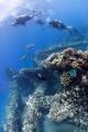 Mala Pier Maui HI Divers swimming green sea turtles. turtles