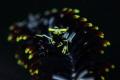 Seafeather Shrimp