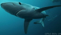 Blue shark taken off Cape point South Africa May 2014 freeezing cold water. water