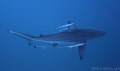 Oceanic blacktip Aliwal shoal South Africa