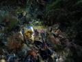 seahorse female has rest mythulus conche