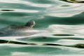 green sea turtle rises breath. breath