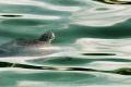green sea turtle rises breath. breath