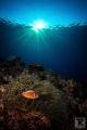 Pink Anemonefish Green Island evening light. light
