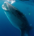 30ft Whale shark feeding whilst migrating Southern Belize