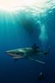 Shark dive Pico Azores