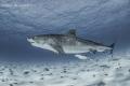 Tiger Shark named Notch cruising entourage fish. fish