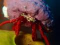 Small crab. Was actually taken Saba. crab Saba