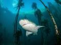 gill shark kelp forest
