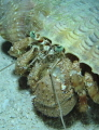 Night dive Hermit Crab see you Crab/