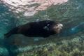 Male Sea Lion Isla Espritu Santo Mexico