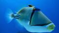 Picasso Triggerfish Gota abu Ramada Acquario Hurghada