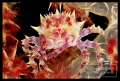 softcoral crab