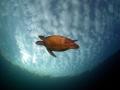 My flying turtle taken Heron Island. Island