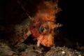 Lightening strike lion fish poses close Seraya Secrets Bali