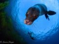 Adorable playful Sea Lions greet me dive Coronado Islands