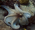 Reef Octopus daytime hunt..... day-time day time hunt